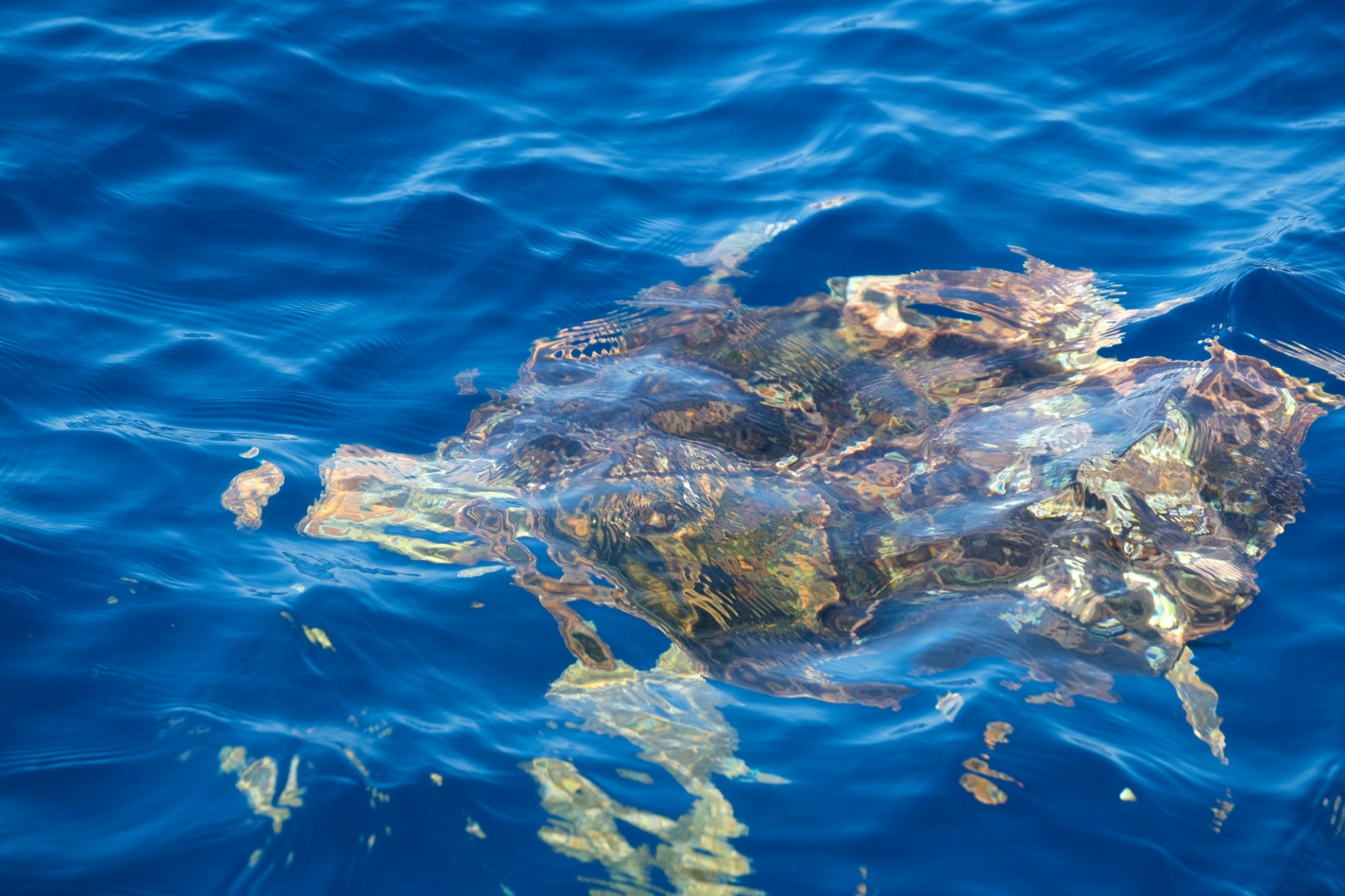 A beautiful sea turtle spotted out of Ponce Inlet, FL