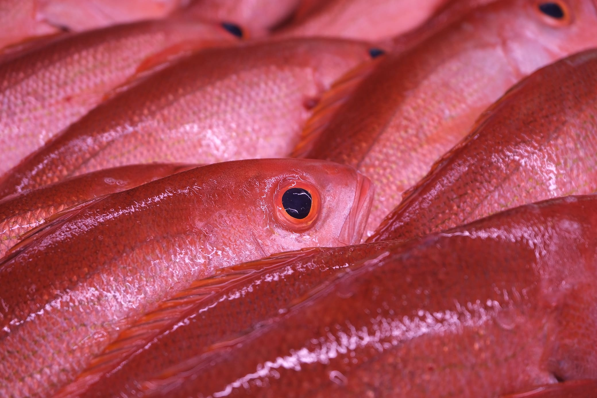 Fresh From Florida vermilion snapper caught off Jacksonville by a local fisherman